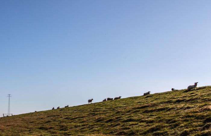 Ostfriesische Schafe